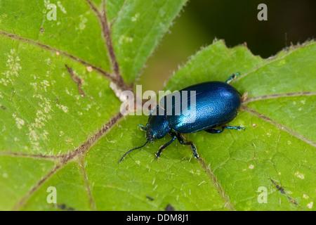Blattkäfer, Oreina spec., Leafbeetle, Chrysomelidae, Leafbeetles, leaf beetles, Chrysomelidae - Stock Photo