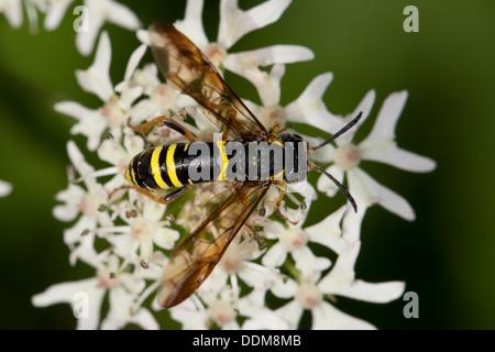 sawfly,  saw-fly, Blattwespe, Tenthredo spec. - Stock Photo