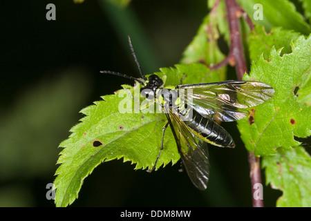 Sawfly, Saw-fly, Blattwespe, Echte Blattwespe, Grünschwarze Blattwespe, Tenthredo mesomela, Eurogaster mesomela - Stock Photo
