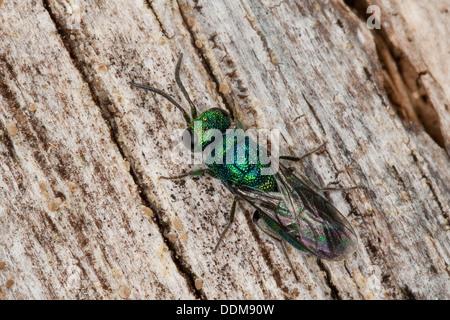 cuckoo wasp, cuckoo wasps, Blaue Goldwespe, Blaugrüne Goldwespe, Trichrysis cyanea, Chrysis cyanea, Goldwespen, - Stock Photo