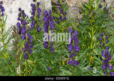 Friar´s Cap, Garden Monkshood, Blauer Eisenhut, Wolfshut, Aconitum napellus - Stock Photo