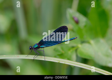 bluewing, demoiselle agrion, Beautiful Demoiselle, male, Blauflügel-Prachtlibelle, Blauflügelprachtlibelle, Calopteryx - Stock Photo