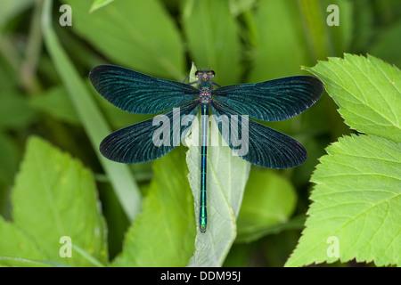bluewing, demoiselle agrion, Beautiful Demoiselle, male, Blauflügel-Prachtlibelle, Blauflügelprachtlibelle, Calopteryx - Stock Photo