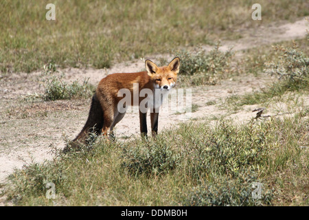 Red fox (vulpes vulpes)  picking up a scent and following a trail, looking for food