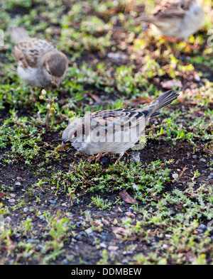 House sparrows (Passer domesticus) grazing - Stock Photo