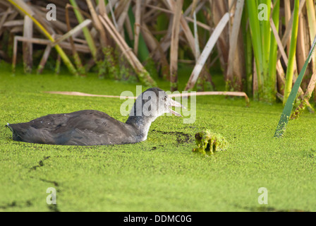 Immature American Coot (Fulica americana) swimming in a duckweed covered pond near Big Lake, Alberta - Stock Photo
