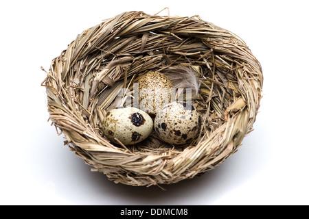 Quail eggs in the nest Stock Photo