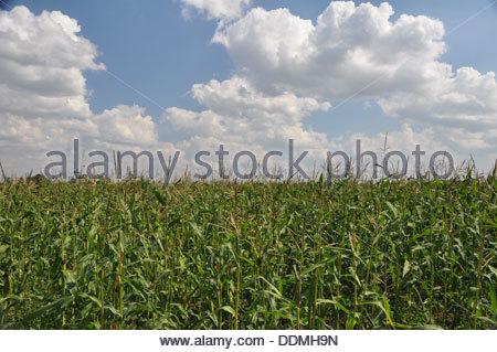 Corn field in Poland - Stock Photo