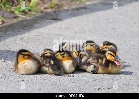 Mallard Ducklings - Stock Photo