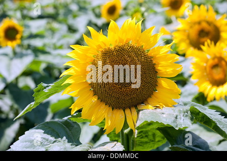closeup of big sunflower on field background - Stock Photo