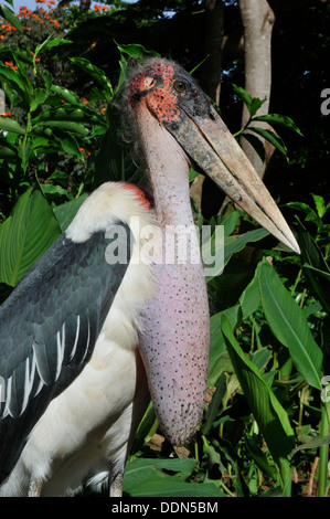 Profile of Marabou Stork Tanzania Collection - Stock Photo
