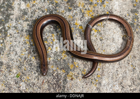 European slow worm, blindworm, Blindschleiche, Blind-Schleiche, Schleiche, Anguis fragilis - Stock Photo