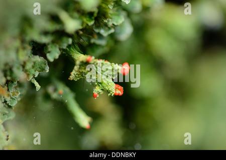 Cladonia, Cladonia spec., Upper Palatinate, Bavaria, Germany, Europe - Stock Photo