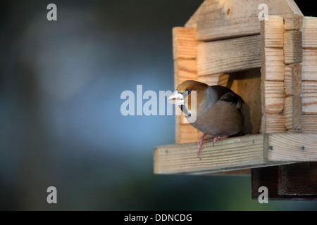 A hawfinch on a bird table - Stock Photo