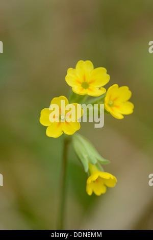 Common cowslip (Primula veris) - Stock Photo