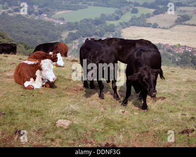 Cattle grazing on the Malvern Hills below Worcestershire Beacon as part of a conservation scheme. - Stock Photo