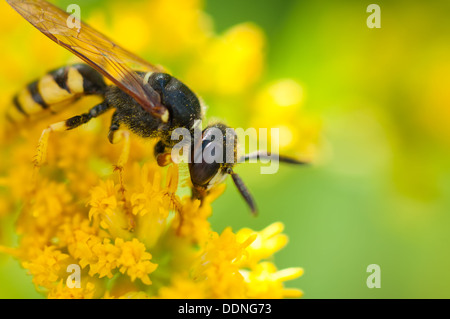 Busy wasp pollinates the yellow flower. - Stock Photo