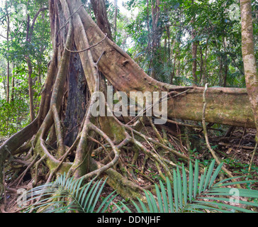 Tree with Buttress Roots - Mossman Gorge - Northern Queensland - Australia - Stock Photo