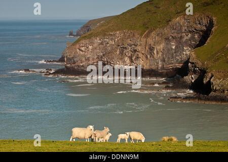 Sheep and lambs grazing, Tumbledown bay, southern bays of Banks Peninsula, Canterbury. - Stock Photo