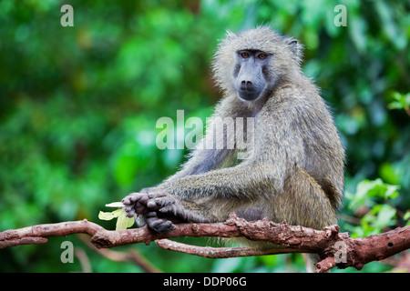 Baboon monkey in African bush. Lake Manyara National Park in Tanzania - Stock Photo