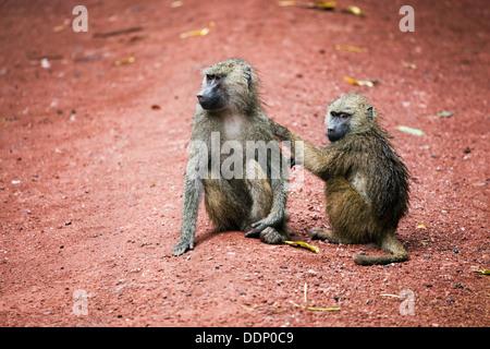 Two Baboon monkeys grooming in African bush at Lake Manyara National Park in Tanzania - Stock Photo