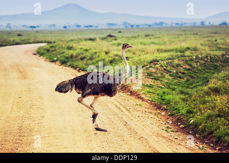 Ostrich in the Serengeti National Park, Tanzania - Stock Photo