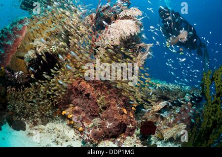 Scuba diver watching a school of mixed cardinal fish and sweepers over coral reef  Komodo National Park, Indonesia - Stock Photo