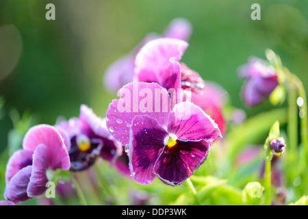 Pansy blossoms (Viola wittrockiana), close-up - Stock Photo