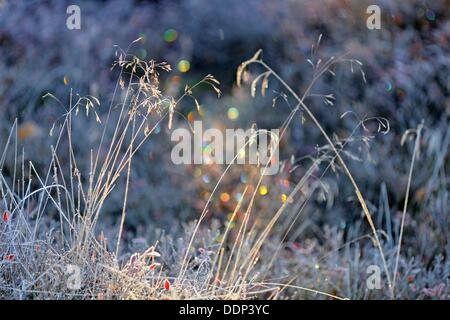 Tufted hairgrass Deschampsia cespitosa with morning frost Greater Sudbury Ontario - Stock Photo