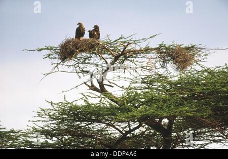 Tawny Eagle (Aquila rapax). Two eagles in nest in acacia. Samburu National Reserve. Kenya - Stock Photo