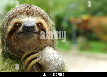 Closeup of a three-toed sloth, Costa Rica - Stock Photo