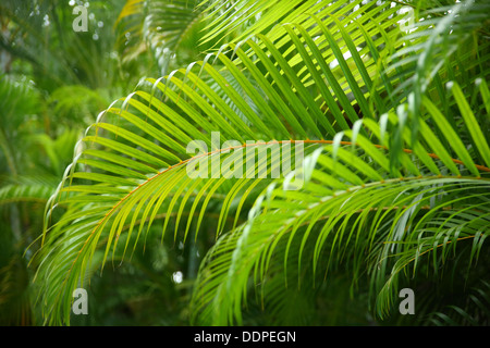 Tropical Palm Branches, Costa Rica - Stock Photo