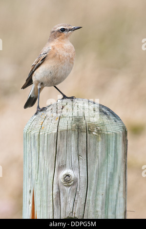 Northern Wheatear female perched posing for the camera, this is a rare little bird in the UK - Stock Photo
