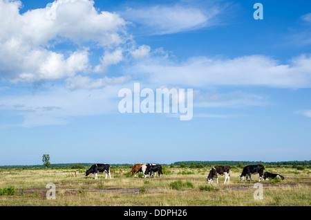 Grazing cattle at the great alvar plain on the island Oland in Sweden - Stock Photo