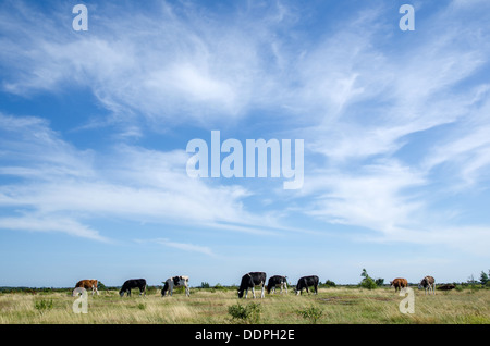 Cattle grazing at the Great Alvar Plain on the island Oland in Sweden. - Stock Photo