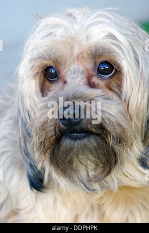 Lovely bichon portrait, close up image - Stock Photo
