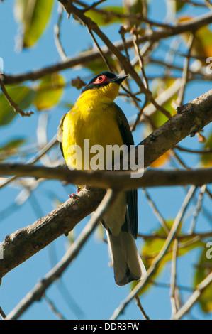 Male Yellow Figbird, Sphecotheres flaviventris near Julatten, Queensland, Australia - Stock Photo