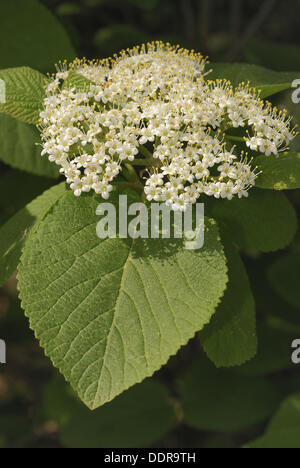Wayfaring Tree (Viburnum lantana) - Stock Photo