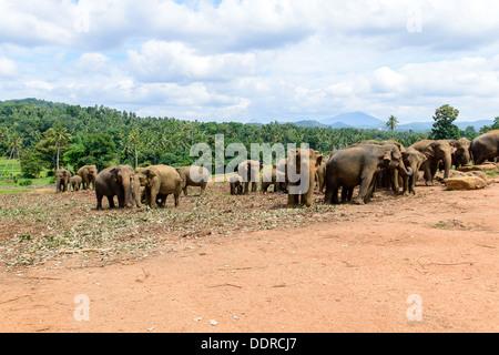 Sri Lanka. Elephant Sanctuary. Pinavella - Stock Photo