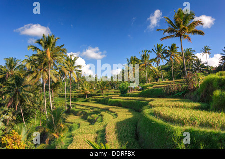 Indonesia, Bali, rice terraces at the entrance to Gunung Kawi Temple Complex - Stock Photo