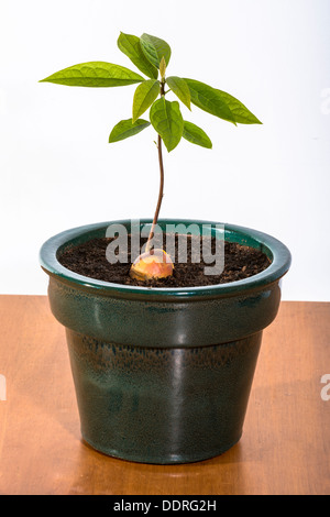 Still life shot of an avocado stone which has sprouted in a plant pot - Stock Photo
