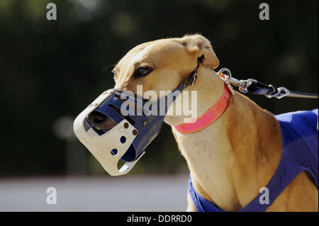 close up of head and muzzle Greyhound dog racing at Fort Myers Naples dog track Florida - Stock Photo