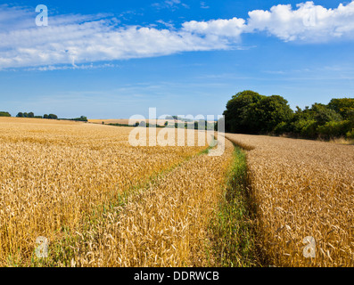 Crops in fields ready for harvesting near Louth Lincolnshire wolds England UK GB EU Europe - Stock Photo