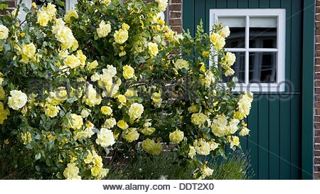 Shrubs of roses in front of a green wooden door  Island Spiekeroog  East Frisia  North Sea  Germany - Stock Photo