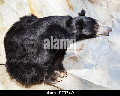 sitting sloth bear outdoors in summer day - Stock Photo