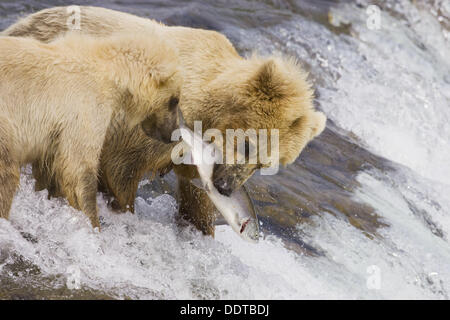 Adult Grizzly Bear catches a Salmon at Brooks Falls with Cub - Alaska, USA - Stock Photo