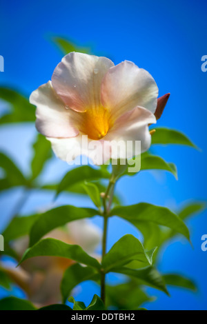 Wild white tropical flower with rain drops on petals against blue sky in Aitutaki Island, Cook Islands - South Pacific - Stock Photo