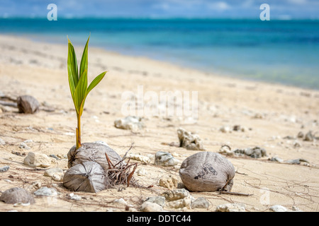 A lone young coconut palm sprout growing from seed beside ocean on Amuri beach - Cook Islands, Aitutaki Island, - Stock Photo