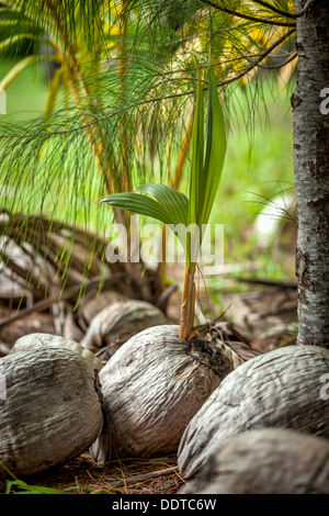 Young coconut palm sprout growing from seed beside ocean on Amuri beach, Aitutaki Island - Cook Islands, Aitutaki, - Stock Photo