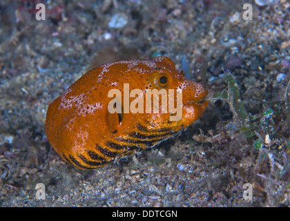 Juvenile starry pufferfish munching on seaweed Puerto Galera, Philippines. - Stock Photo